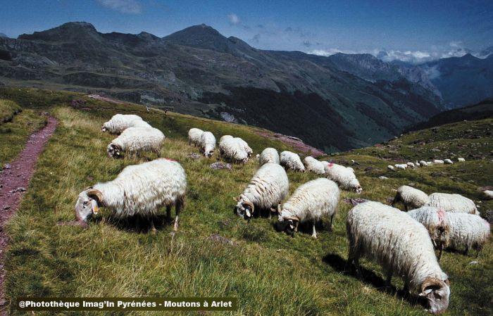 Moutons à Arlet