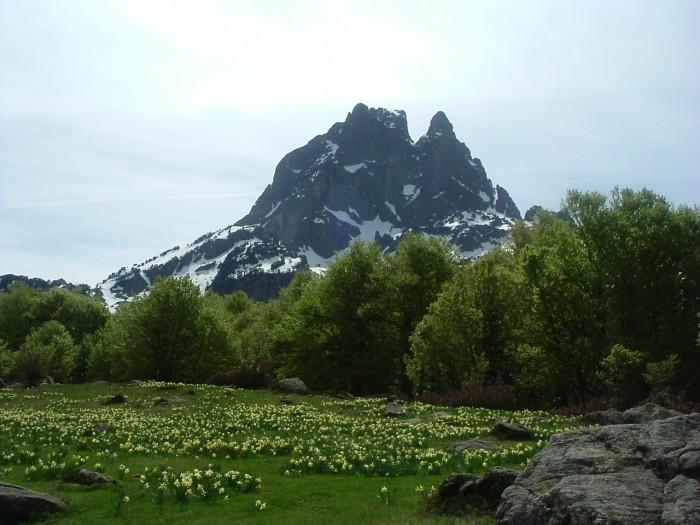Pic du Midi d'Ossau au-dessus d'un jardin de jonquilles