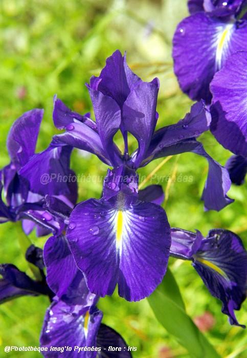 Iris xiphoïde