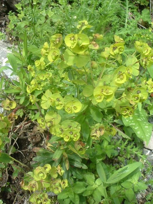 Euphorbe characias