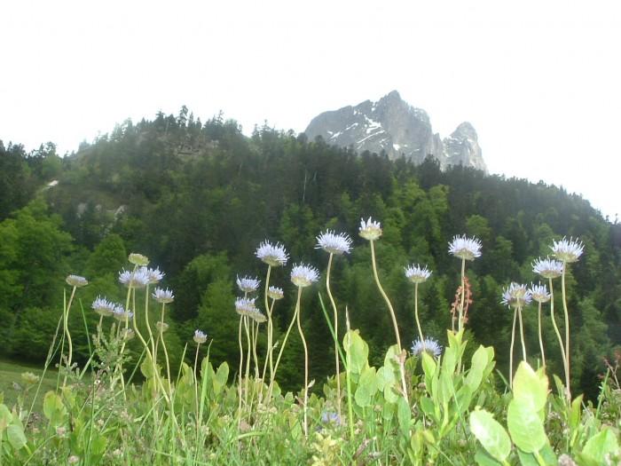Jasione des montagnes