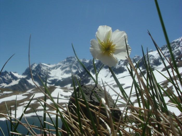 Renoncule des Pyrénées