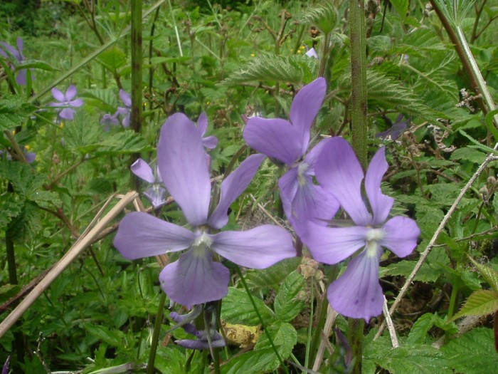 Violette cornue