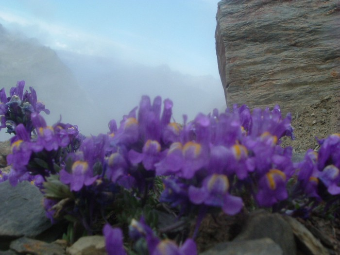 Linaire des Alpes