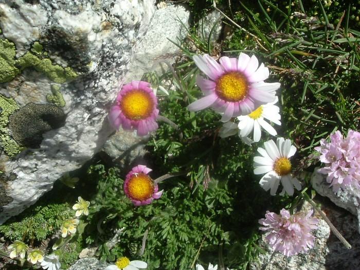 Leucanthème des Alpes
