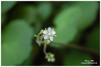 Fleur de la saxifrage hirsute