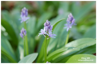 Scille lis-jacinthe