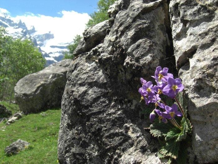 Ramonde des Pyrénées