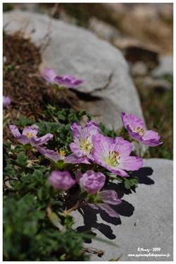 Geranium cendré