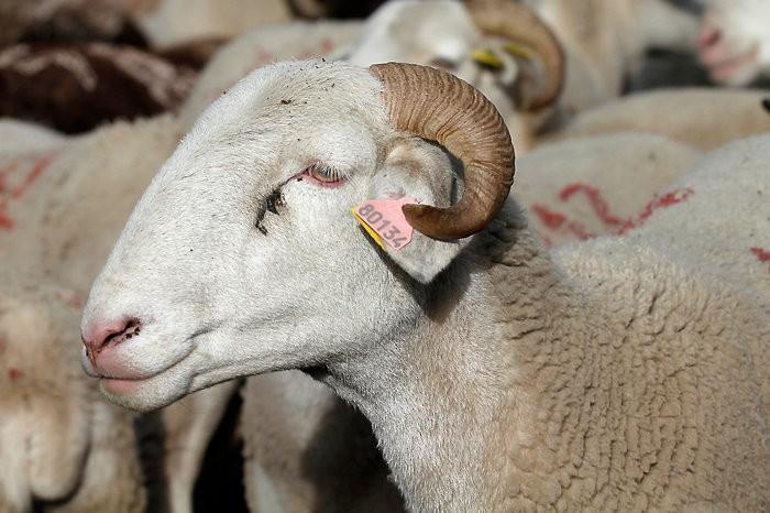 Mouton dans la vallée de Héas
