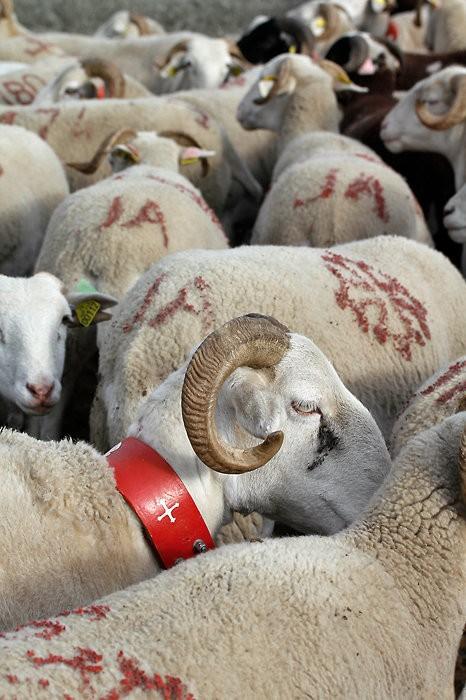 Moutons aux Aguilous
