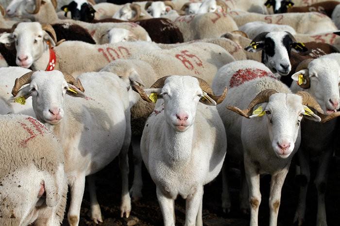 Bonjour les moutons