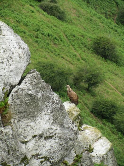 Le fameux rapace qui guète: un vautour, sur la randonnée au Mondarrain