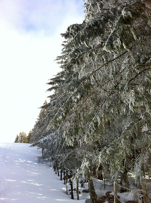 Sapins enneigés sur le Plateau de l'Aubrac en Aveyron