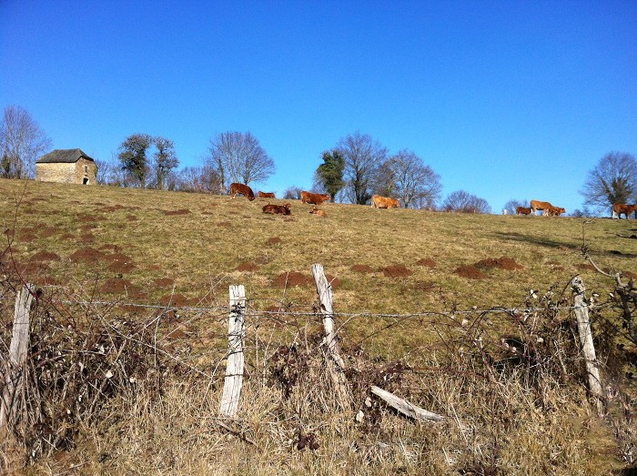 Vaches Aveyronnaises sur le chemin de randonnée au dessus d'Espalion