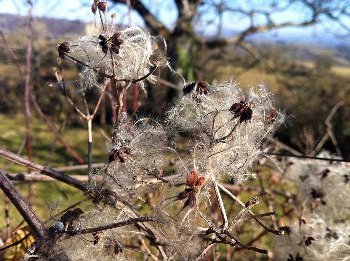 La Clématite sauvage ou Vigne blanche près du Plô de Masse, Vallée du Lot