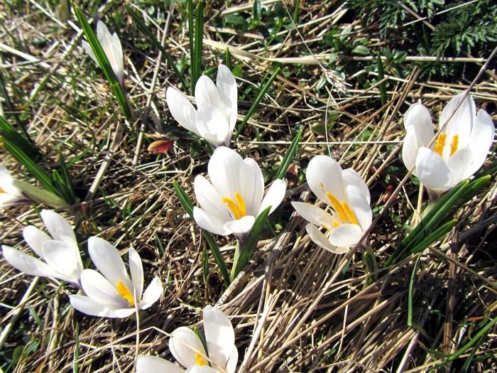 Crocus sur le plateau de l'Aubrac, au printemps