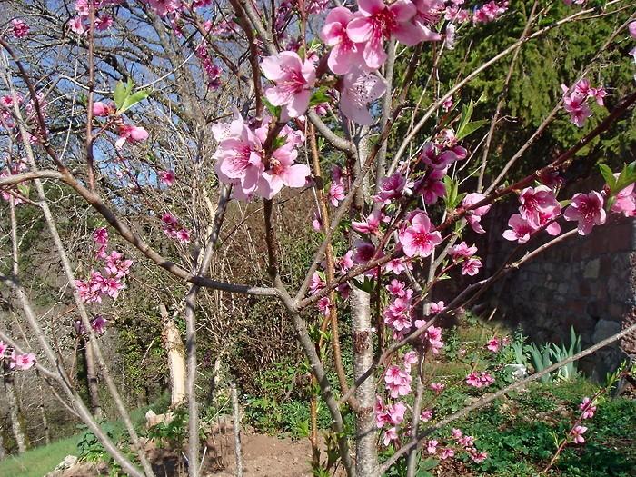 Fleurs et burgeons de brugonnier