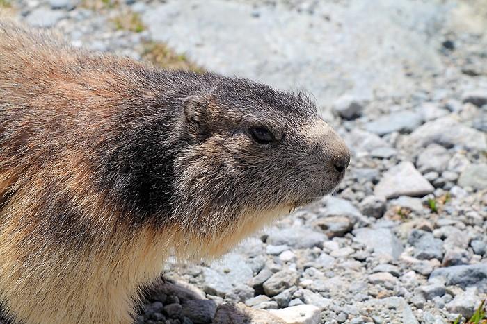 La marmotte n'est plus en hibernation