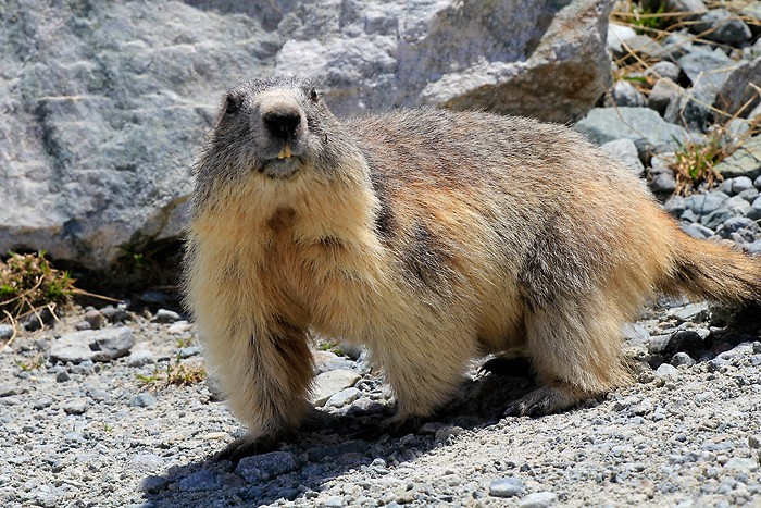 Marmotte curieuse au lac du Glacier d'Arsine