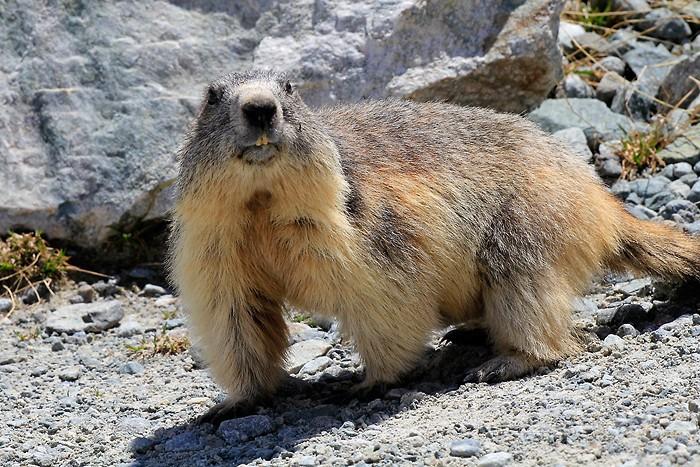 Marmotte curieuse au lac du Glacier d'Arsine