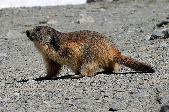 Une belle marmotte au bord du lac
