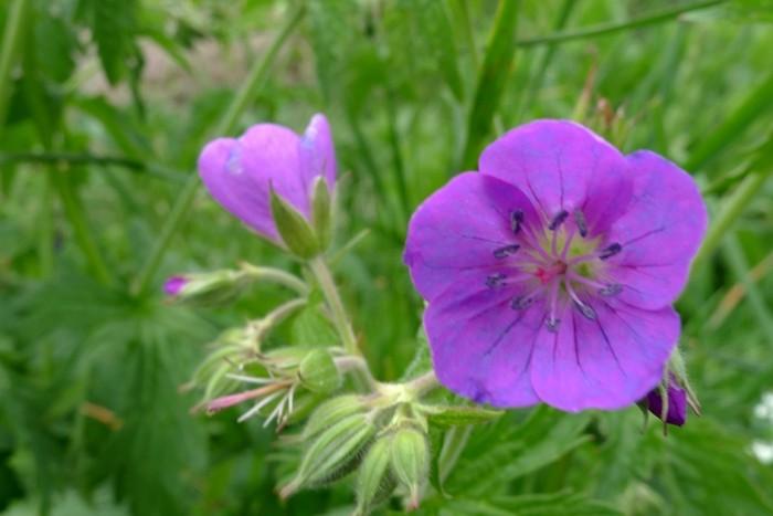 Flore dans le Massif du Mont Dore, au bord du Lac du Guéry
