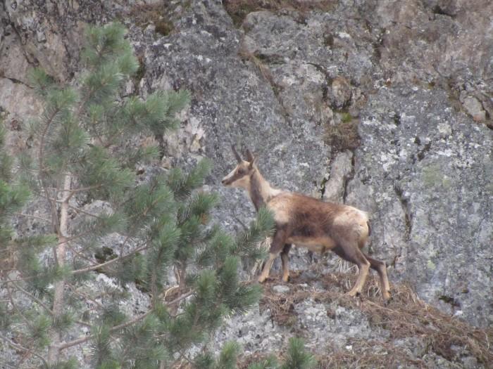 Isard dans les Pyrénées