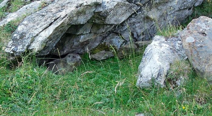 Marmotte cachée sous un rocher, Pyrénées