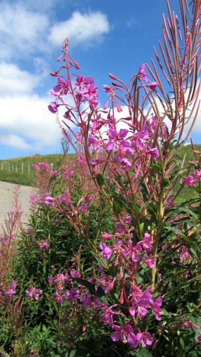 Flore sur l'Aubrac, Lozère