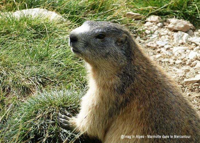 Marmotte dans le Mercantour