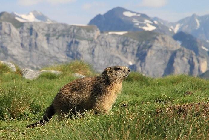 Jeune marmotte au pic de la Pahule