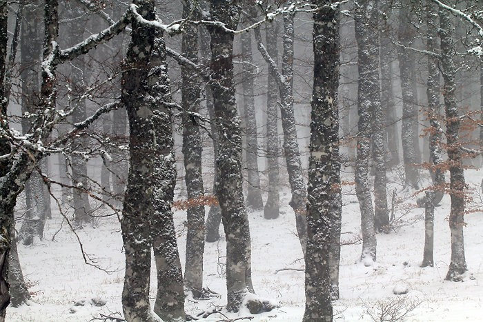 Forêt enneigée en Aubrac