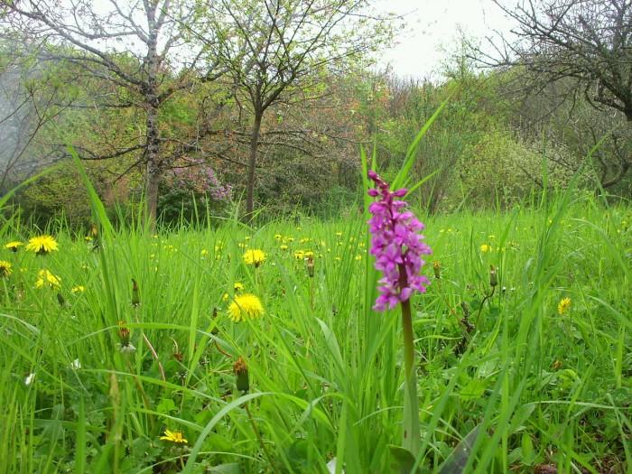 Orchidée sauvage du Limousin