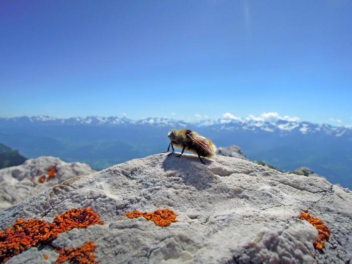 Abeille depuis Chamechaude, face aux sommets des Alpes