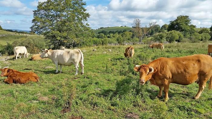 Vaches de race Aubrac