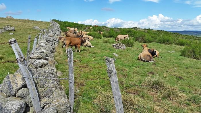 Troupeau de vaches et taureau race Aubrac