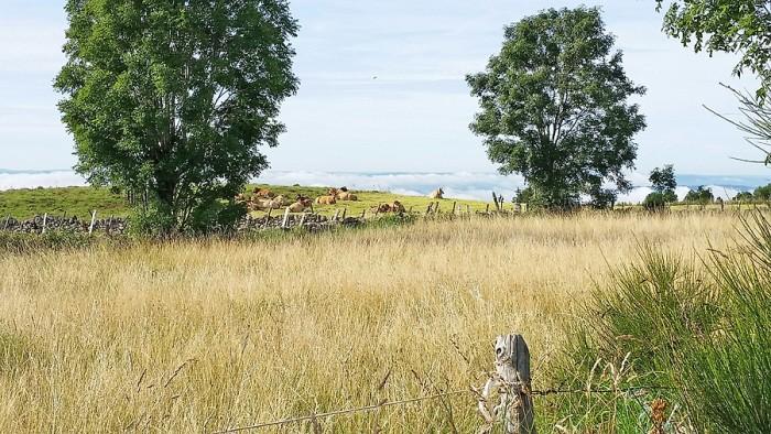 Vaches Aubrac, paisibles au matin