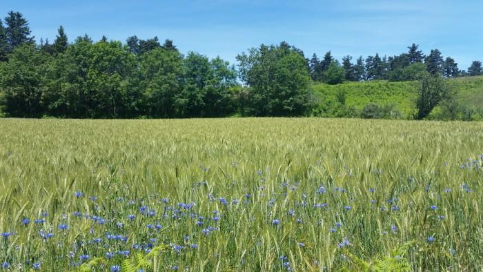 Champ de blé et fleurs sur le retour