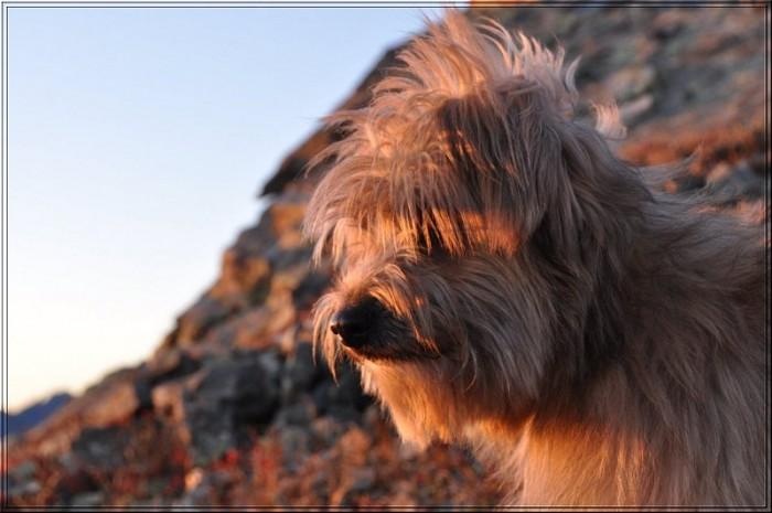 Découverte : Chien berger des Pyrénées