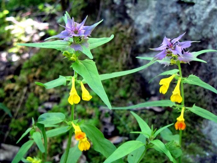 Fleurs dans le Massif des Ecrins, dans les Alpes. Rando au Lac du Lauvitel