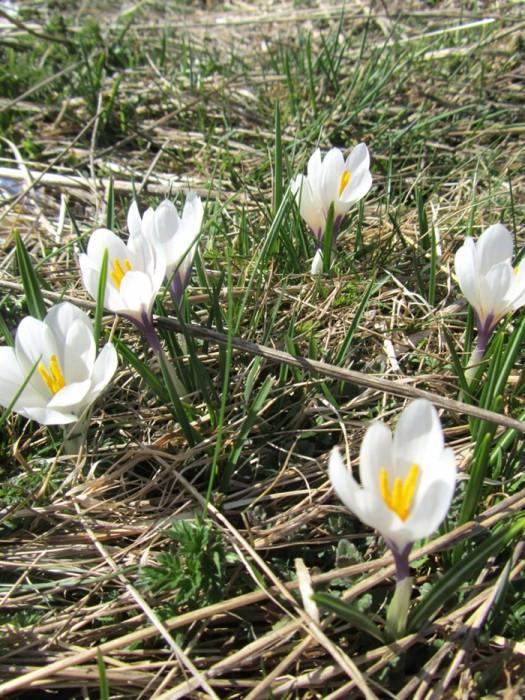 Crocus: Fleurs d'Aubrac en Lozère Col de Bonnecombe et Lac de Born