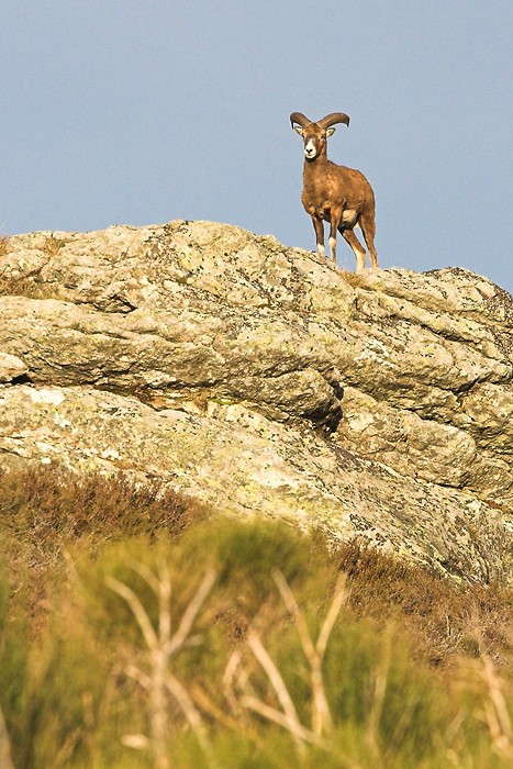 Mouflon dans le Caroux