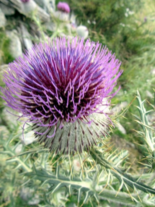 Chardon en fleur sur l'Aubrac en Lozère