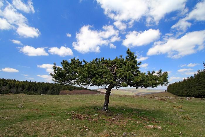 Un arbre en Lozère