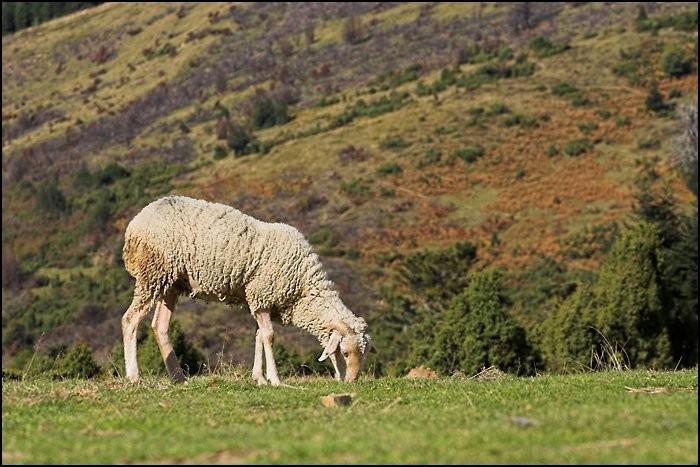 Mouton dans les Pyrénées