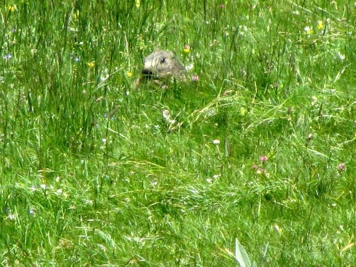 Marmotte au lac du Lauvitel ALPES