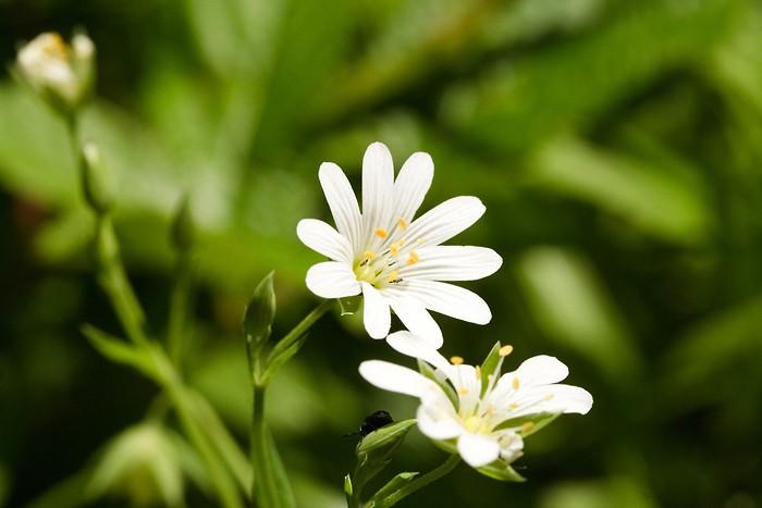 Fleur au col de Tentes
