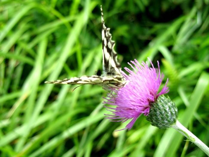 Papillon et fleur rencontrés en randonnée