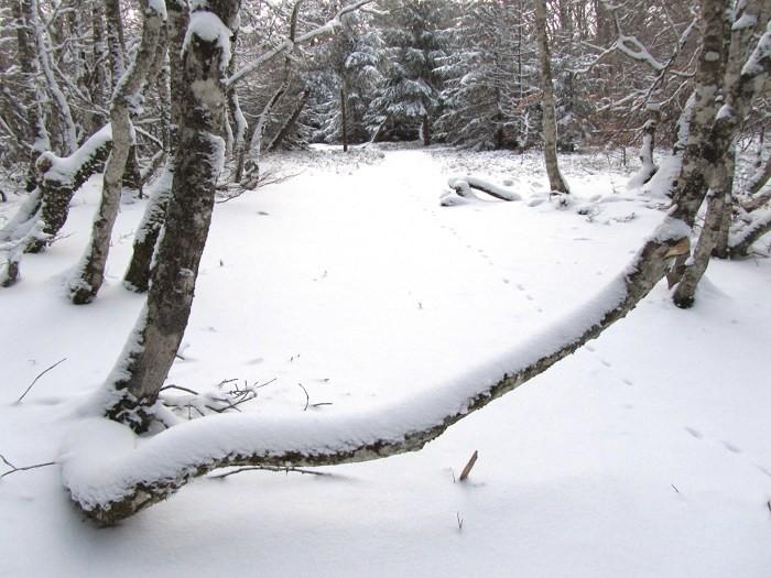 Neige de janvier sur la forêt de Laguiole en Aubrac